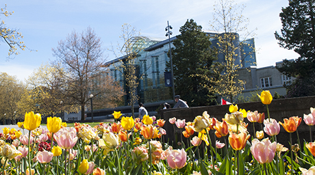 Tulips in front of Koerner Library